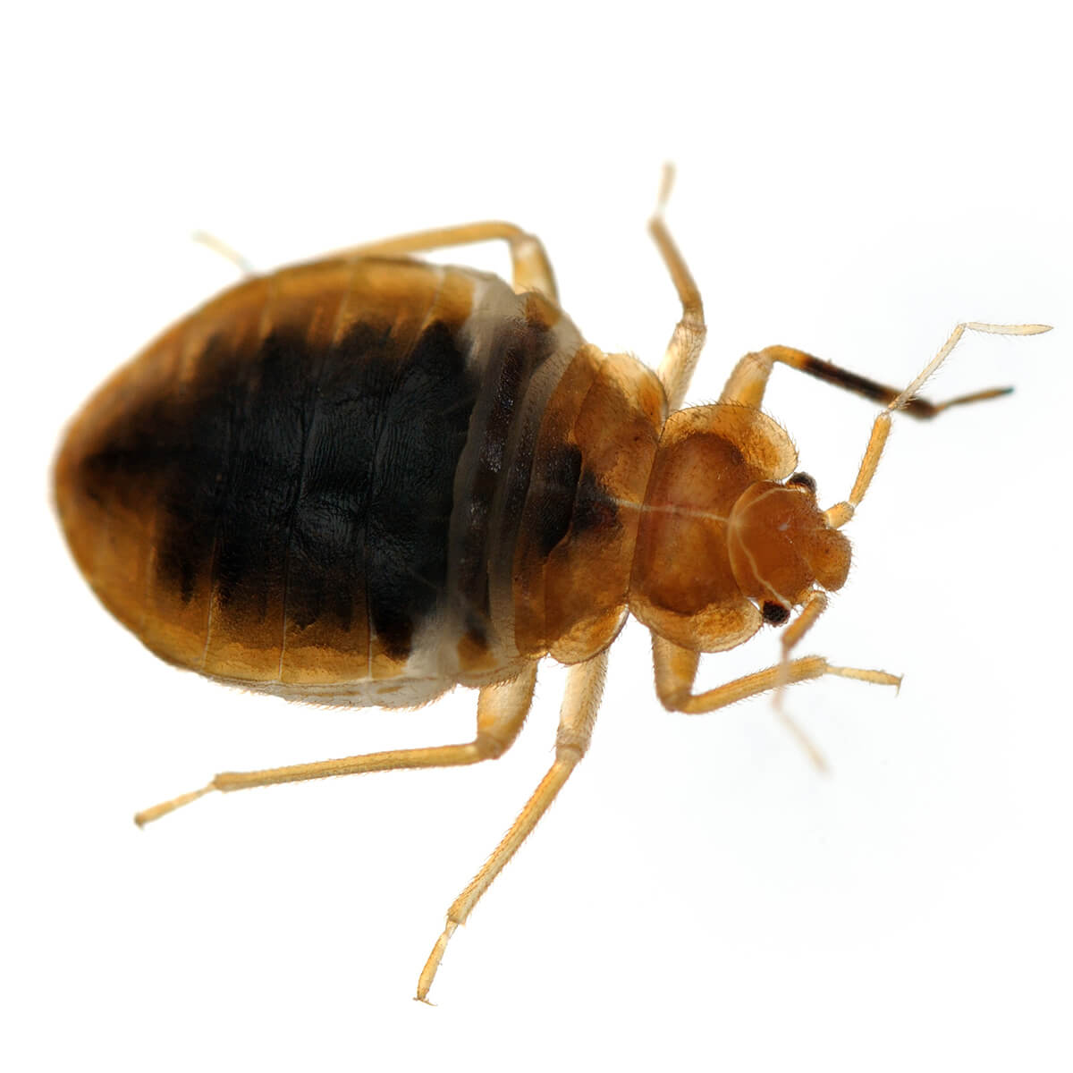 Bed Bugs - Featured Image