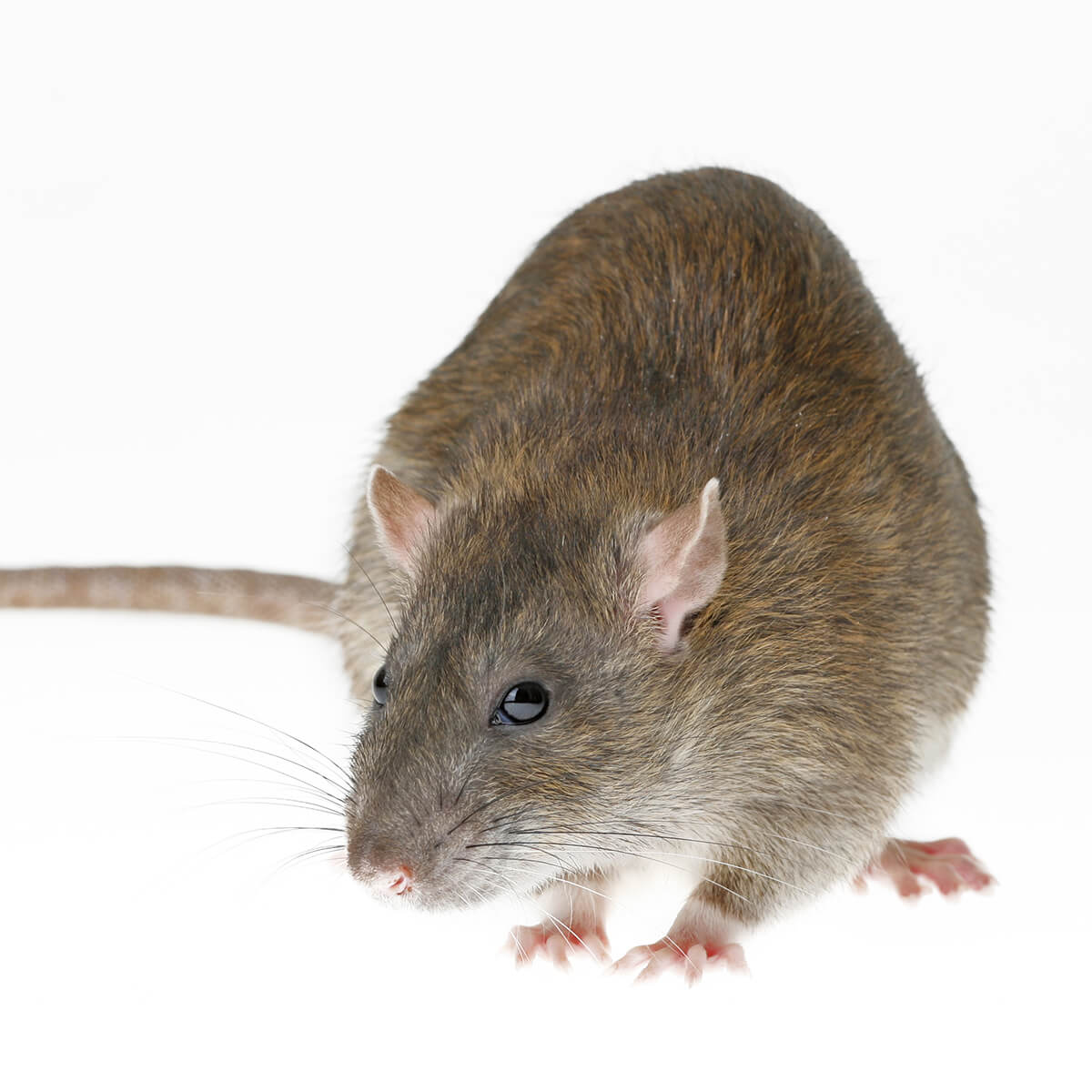 Rats - Featured Image