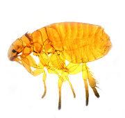 Close up photo of a cat flea