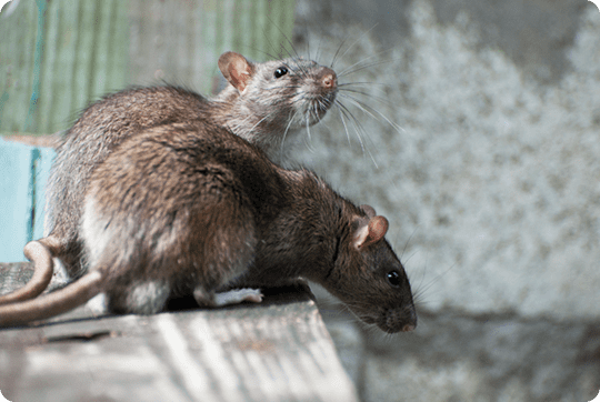 Rats on wooden furniture.