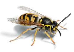 Close up photo of a wasp.