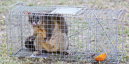 possum removal observation