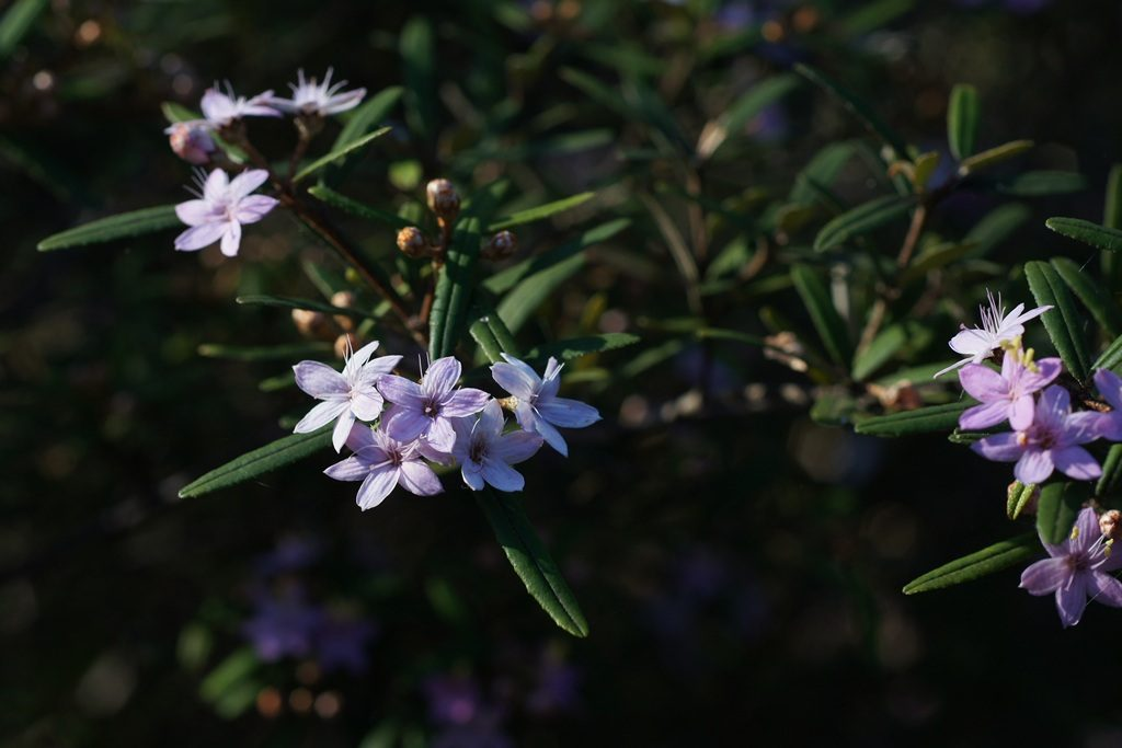 Native Rosemary