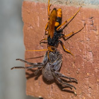 Australian Wasps Species Types And Detection