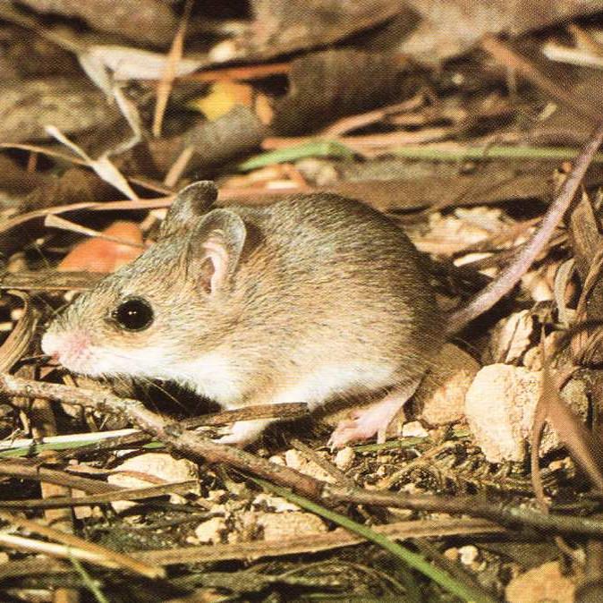 Little Native Mouse (Pseudomys delicatulus)