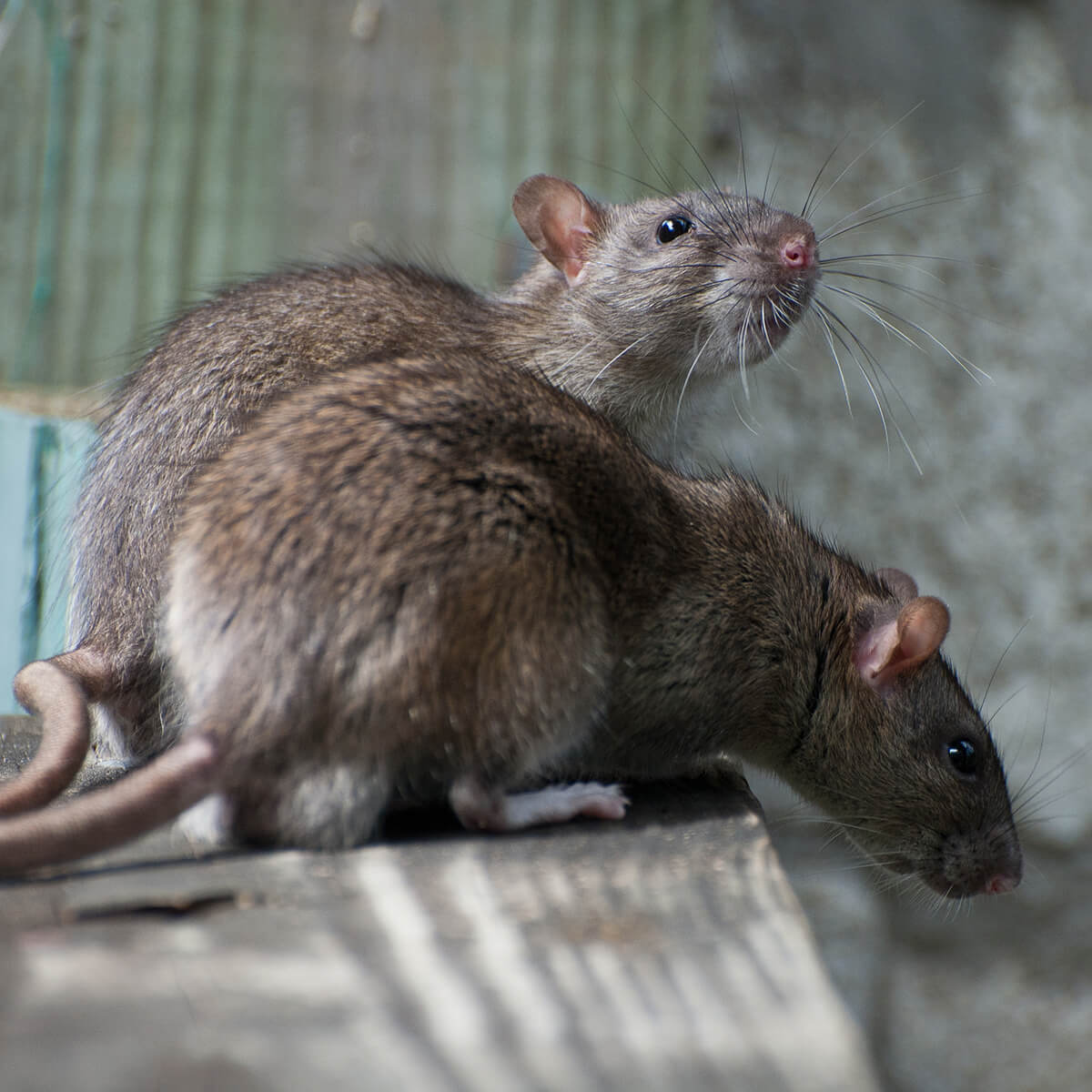 Brown Rat - Featured Image