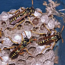 Paper Wasps' Nesting