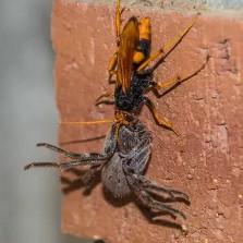 Spider Wasp Nesting