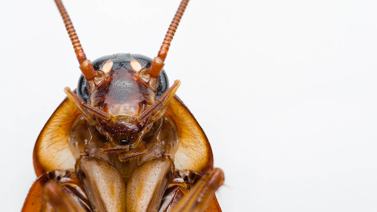 Cockroach of Australia