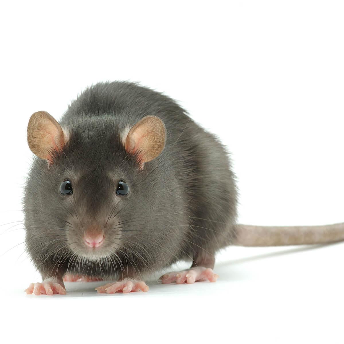 Black Rat - Featured Image