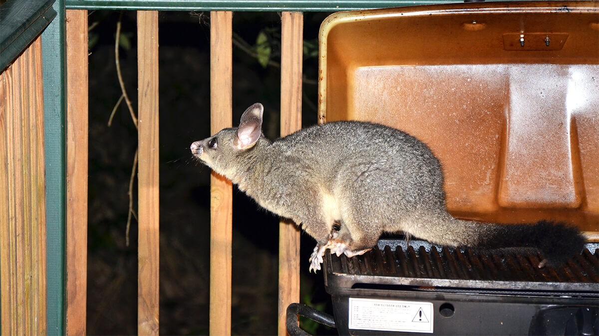 Keeping possums away