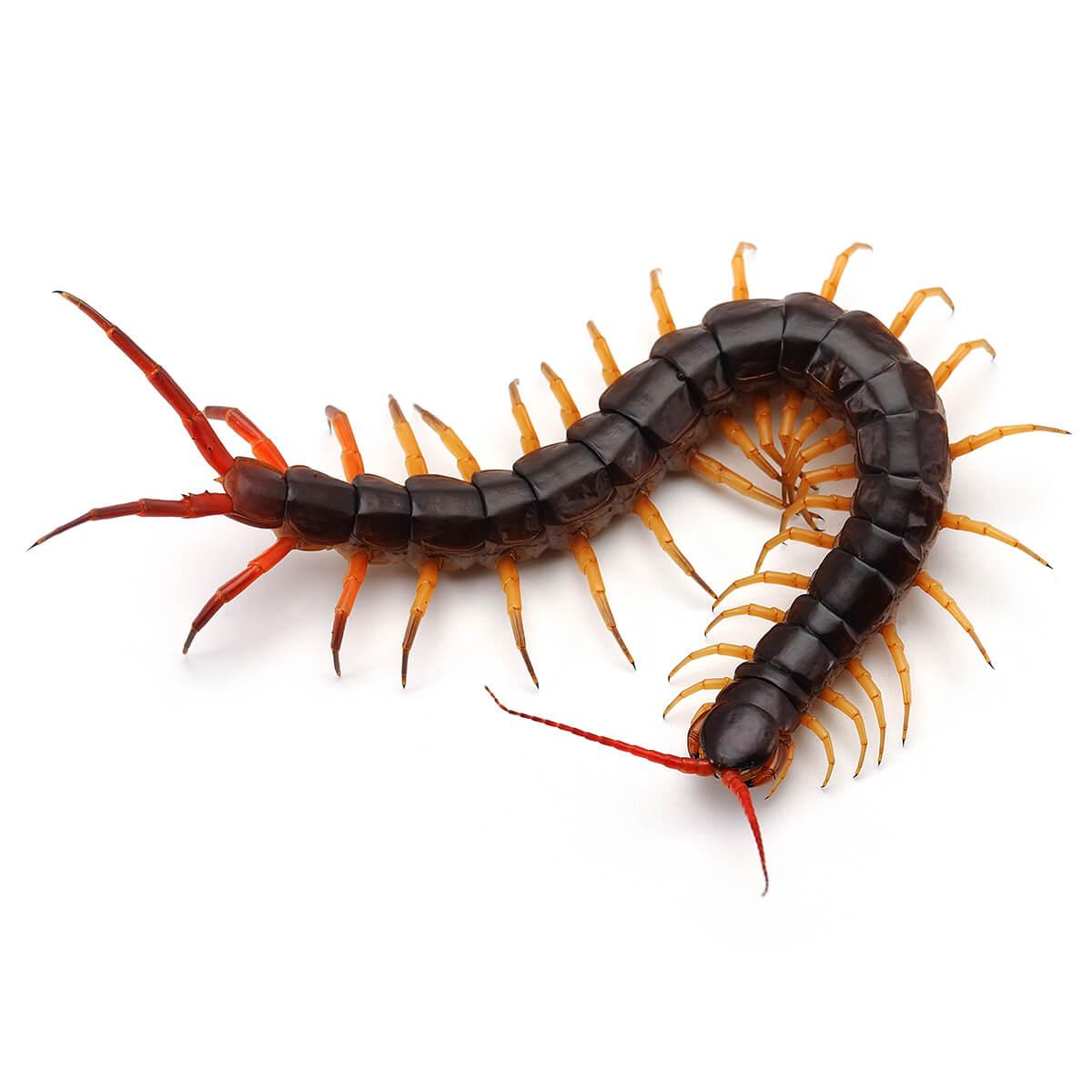 Centipede - Featured Image