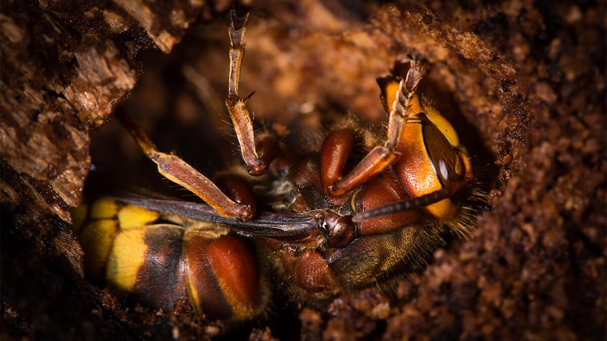 Wasp Lifespan - Do Wasps Hibernate