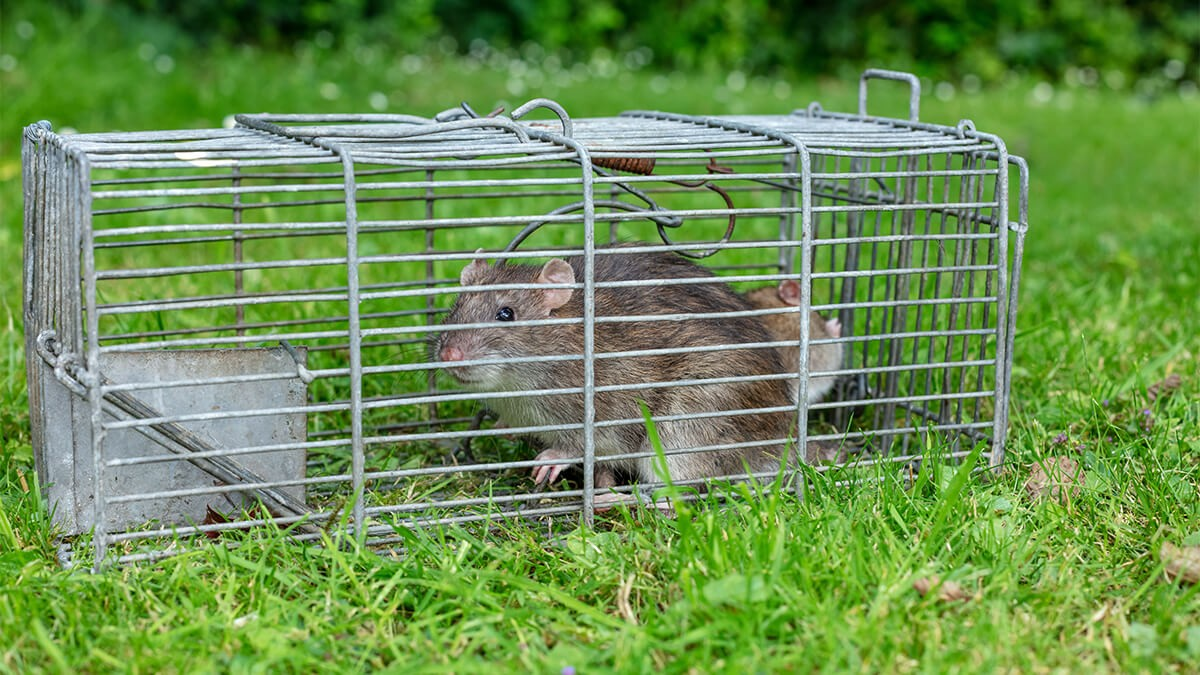 How to Get Rid of Rats in Your Home and Garden