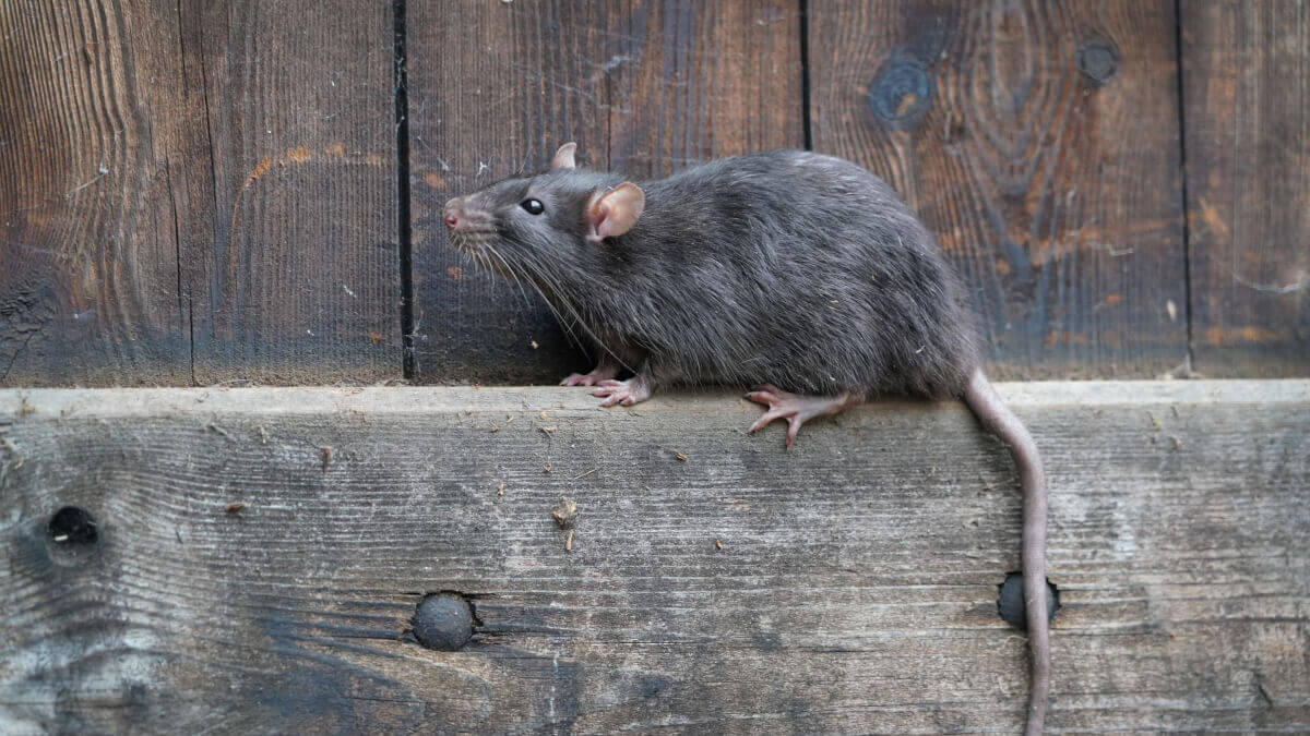 Rat life cycle